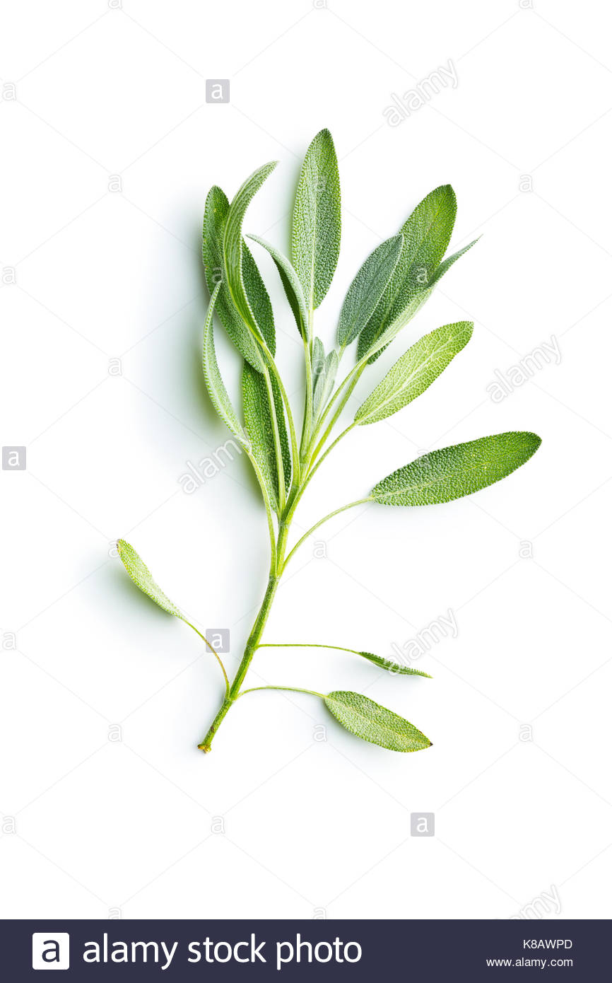 Salvia officinalis Sage branch isolated on white background 866x1390