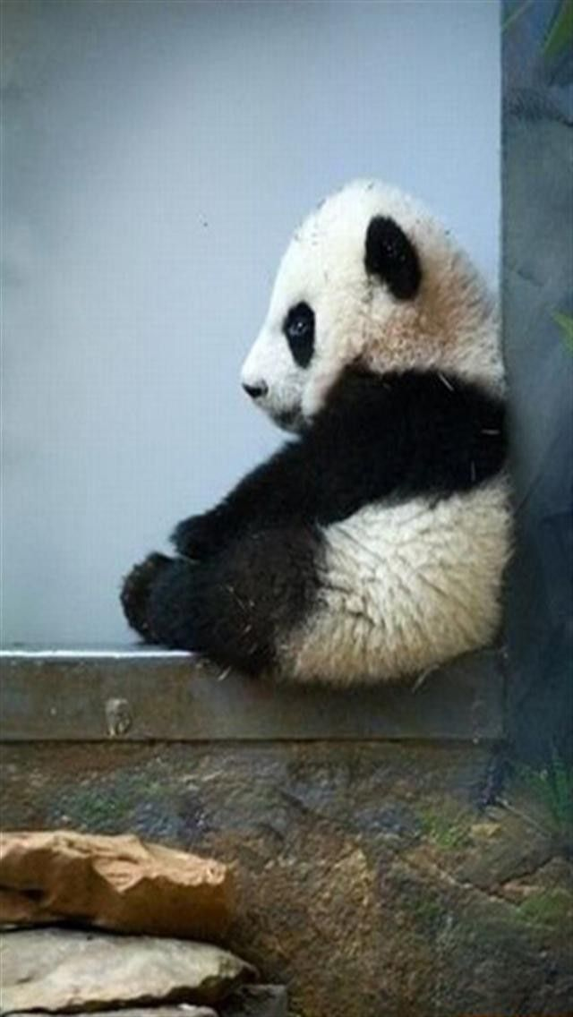 Kawaii panda iphone wallpaper wallpapersafari - Phone animal wallpapers ...