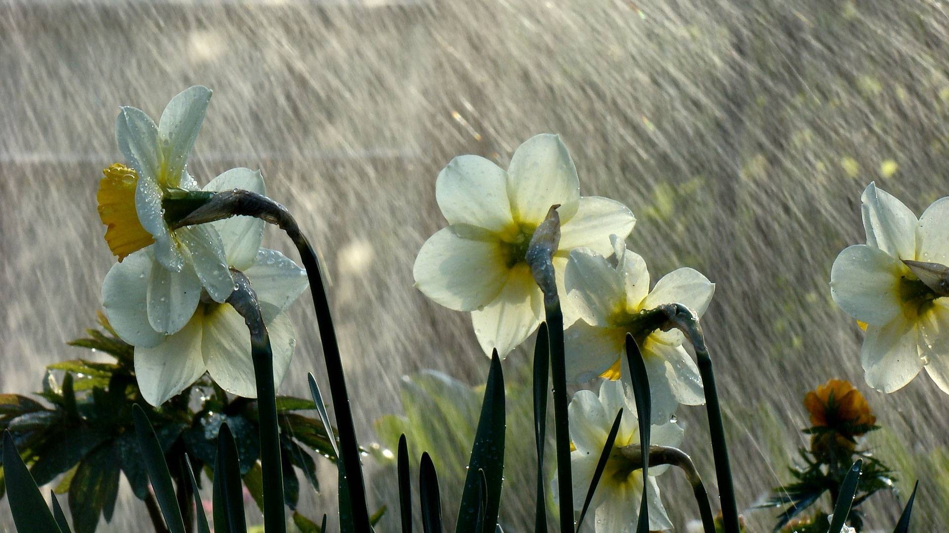Beautiful Rain on Flower Wallpaper HD Wallpapers 1920x1080
