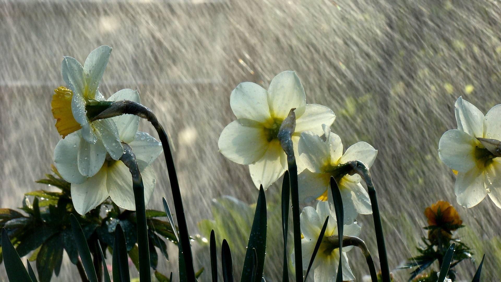 Beautiful Rain on Flower Wallpaper HD Wallpapers 1920x1080