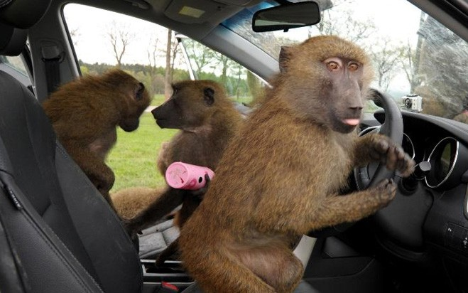 Baboons at the WheelMcClures Magazine 659x412
