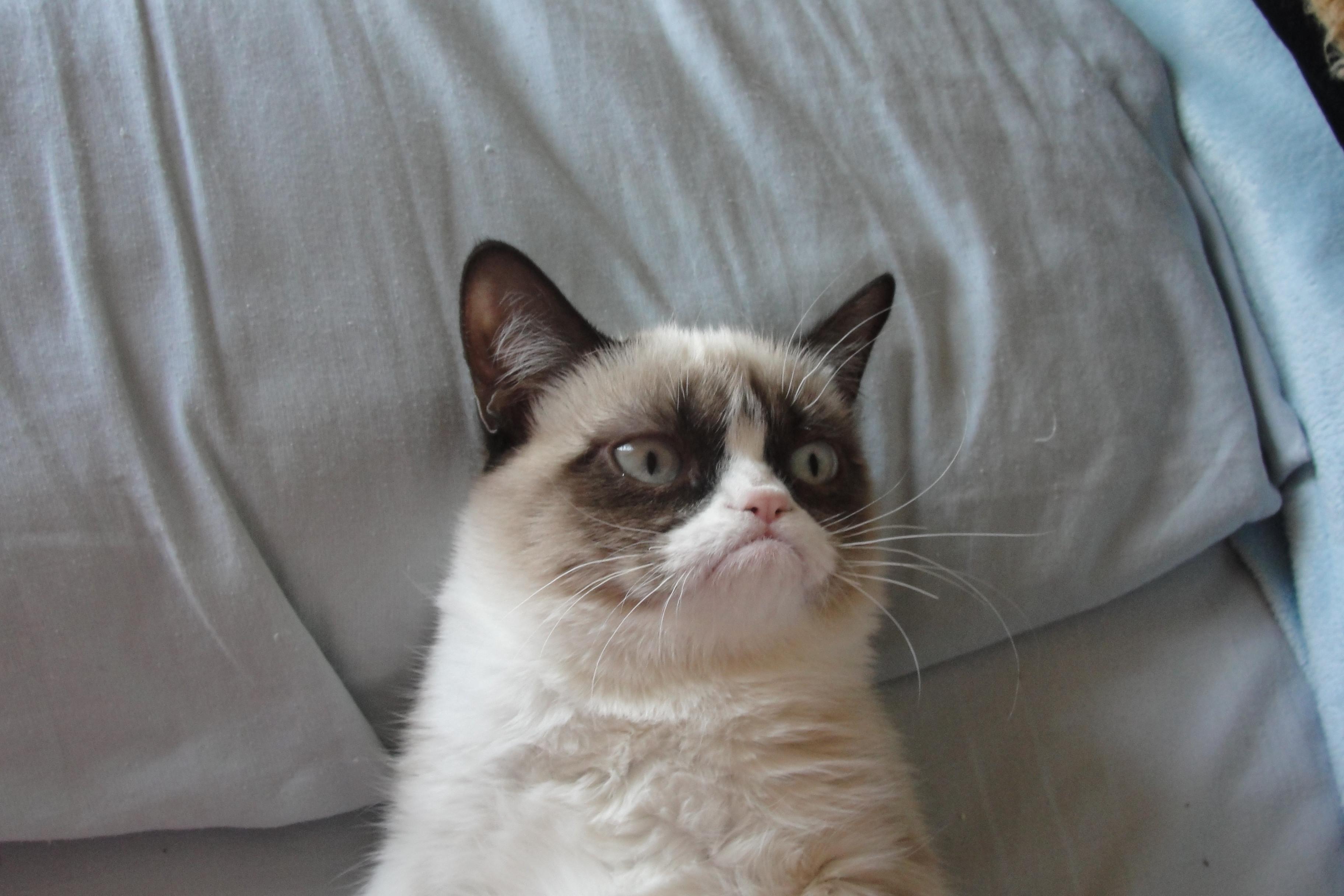 Fonds d 39 cran Grumpy Cat tous les wallpapers Grumpy Cat 3648x2432