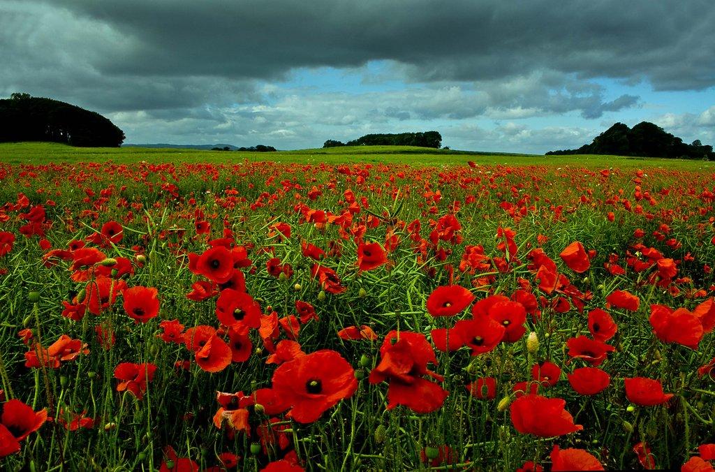 Poppy Fields of Dunfermline by SnapperRod 1024x676