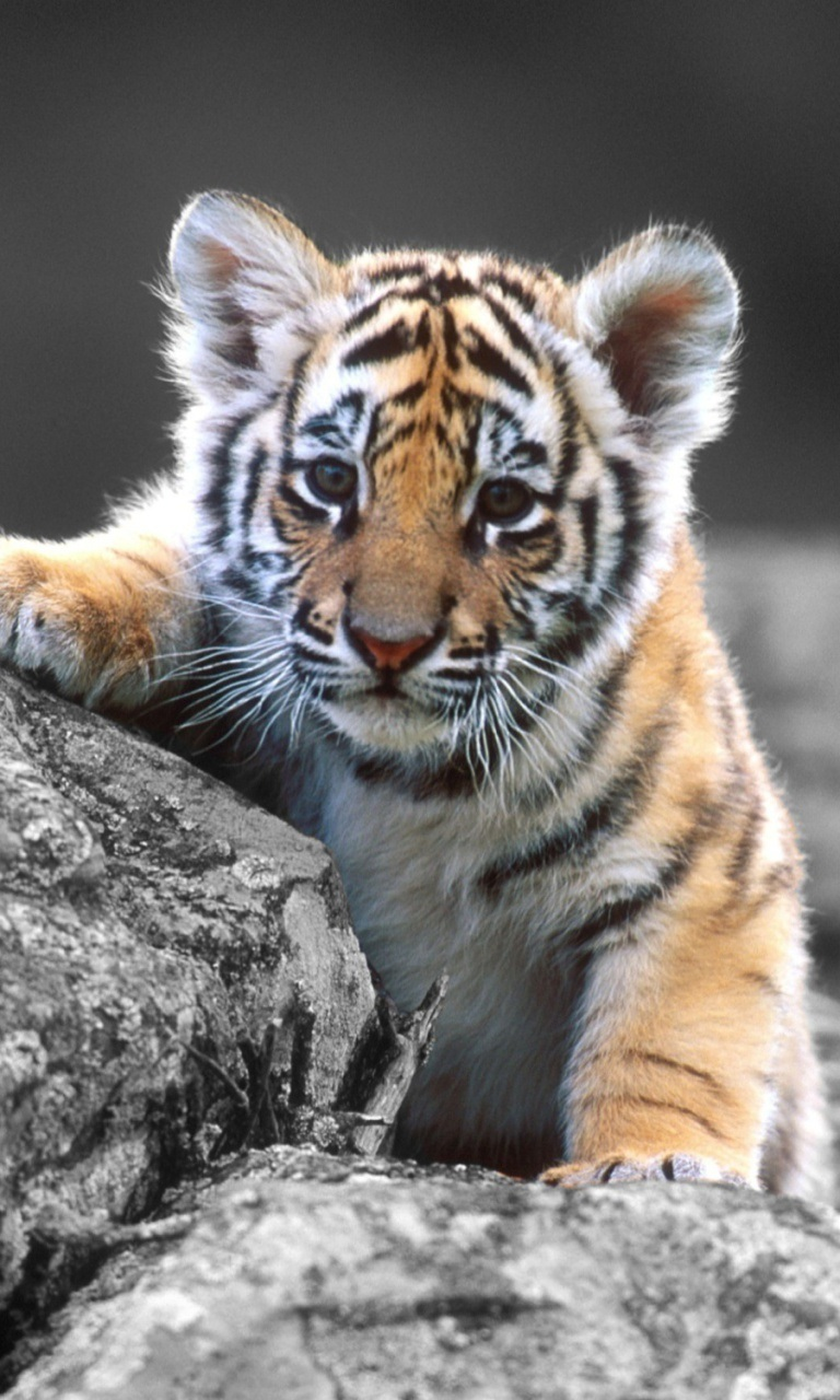 free 768X1280 Cute Tiger Cub 768x1280 wallpaper screensaver preview id 768x1280