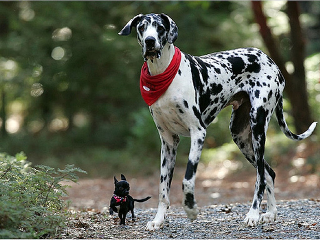 PicturesPool Dalmatian Dogs wallpapers 1024x768