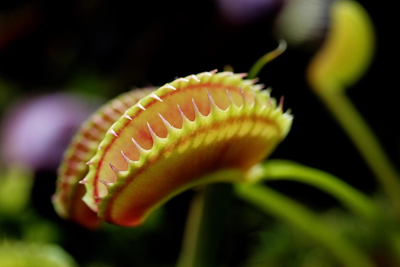 Venus flytrap Wallpapers and Background Images   stmednet 1350x900