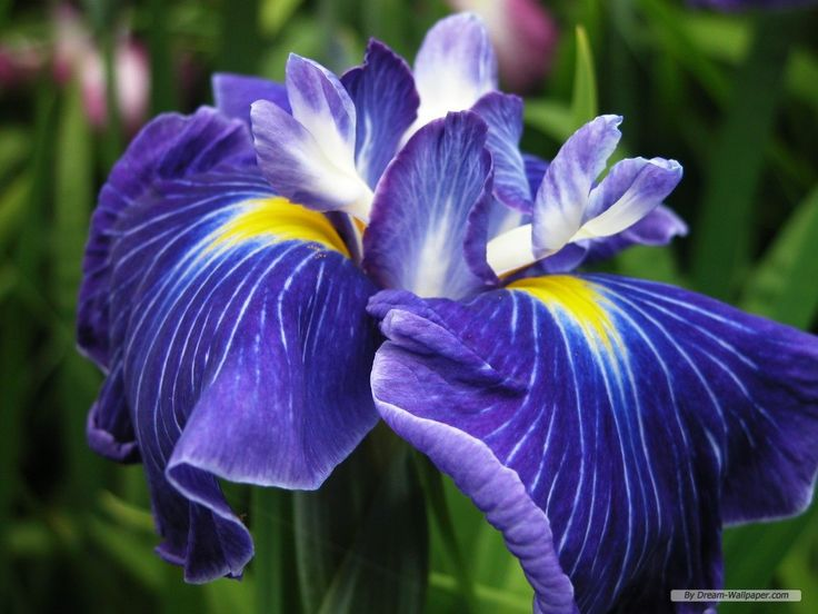 Bearded Iris Wallpaper Wallpapersafari