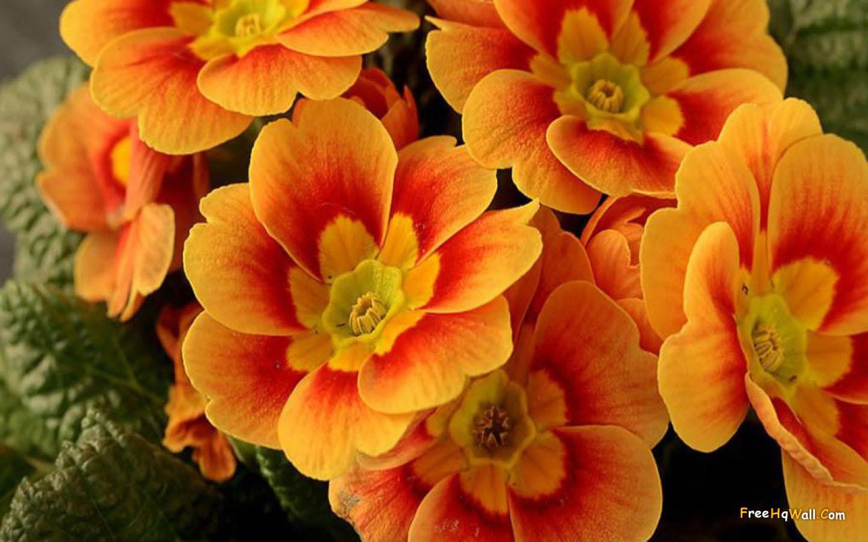 Beautiful Orange Flower Hd Wallpaper 8562 Computer Best