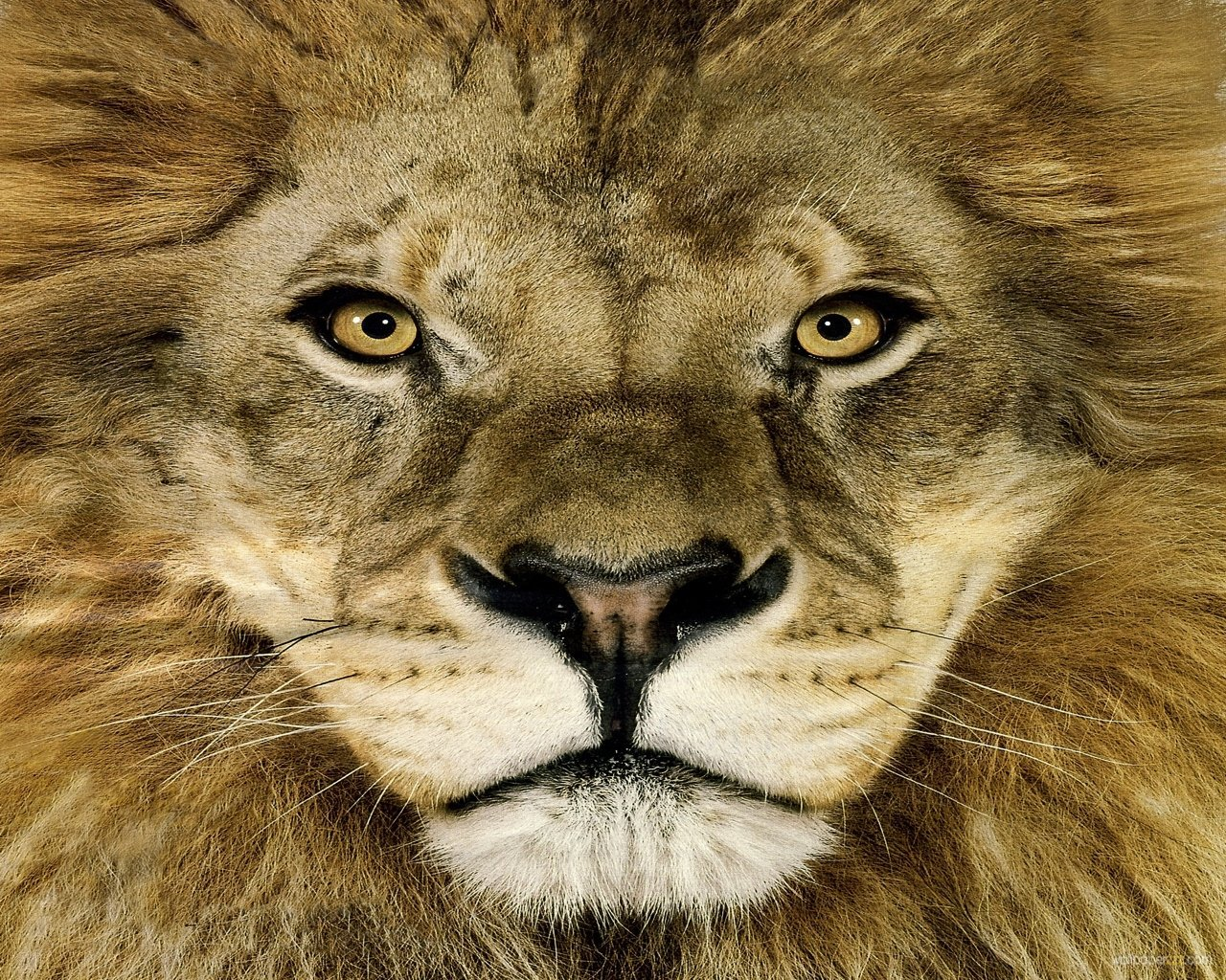Lion Face Wallpaper 1280x1024