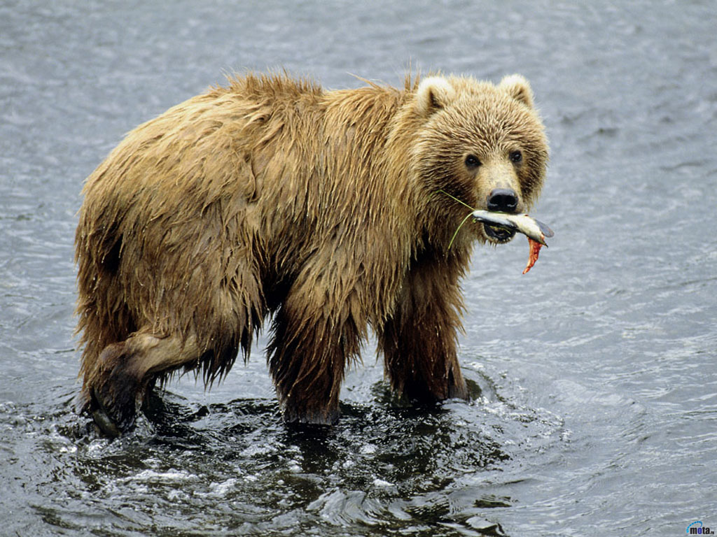 Kodiak Bear Wallpaper