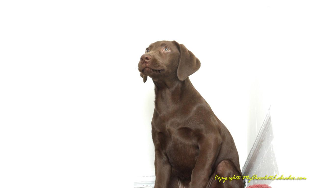 Chocolate Labrador Wallpapers Jackie the Chocolate Lab 1280x768