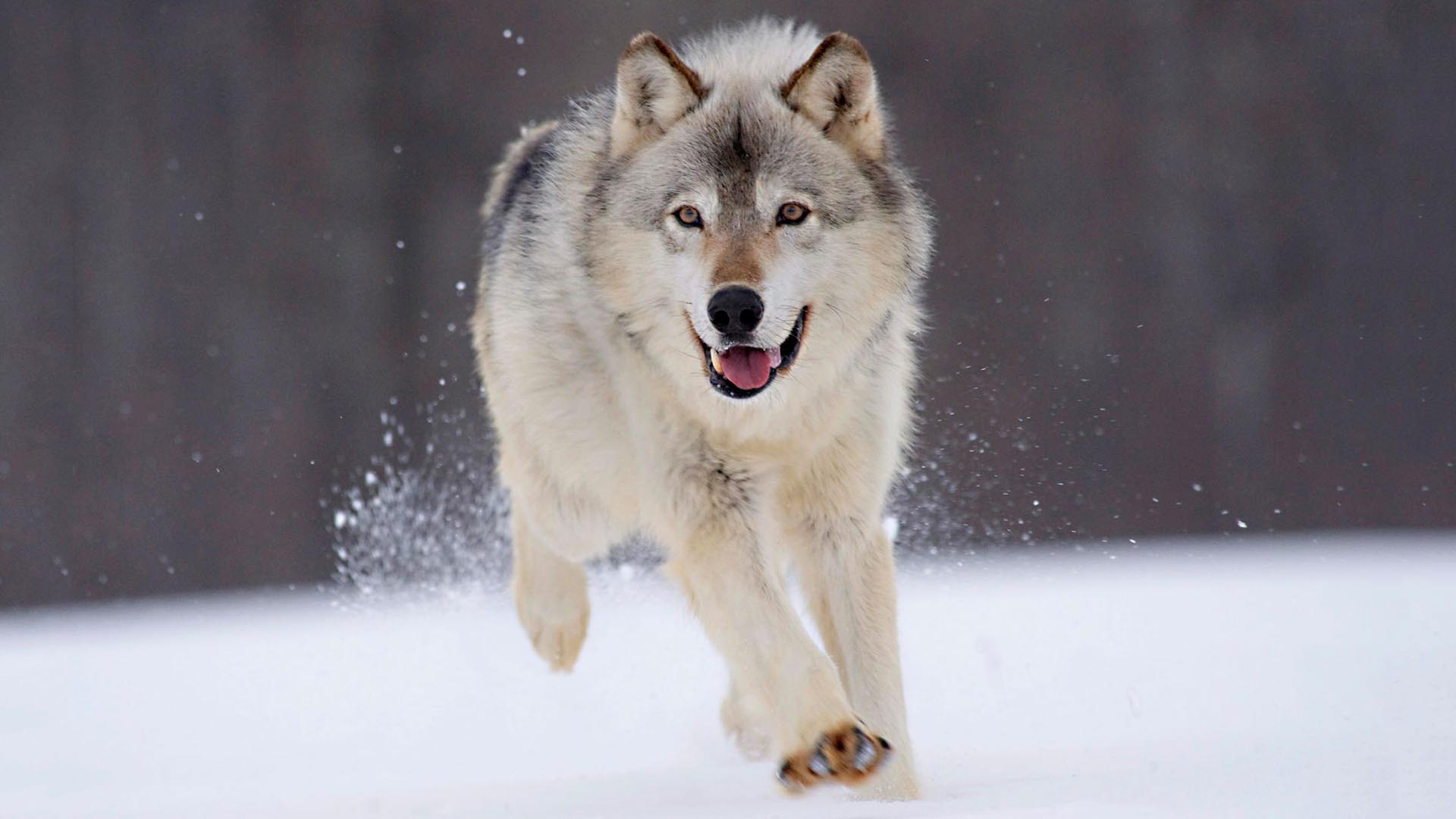 Snow Wolf HD Wallpaper FullHDWpp   Full HD Wallpapers 1920x1080 1920x1080