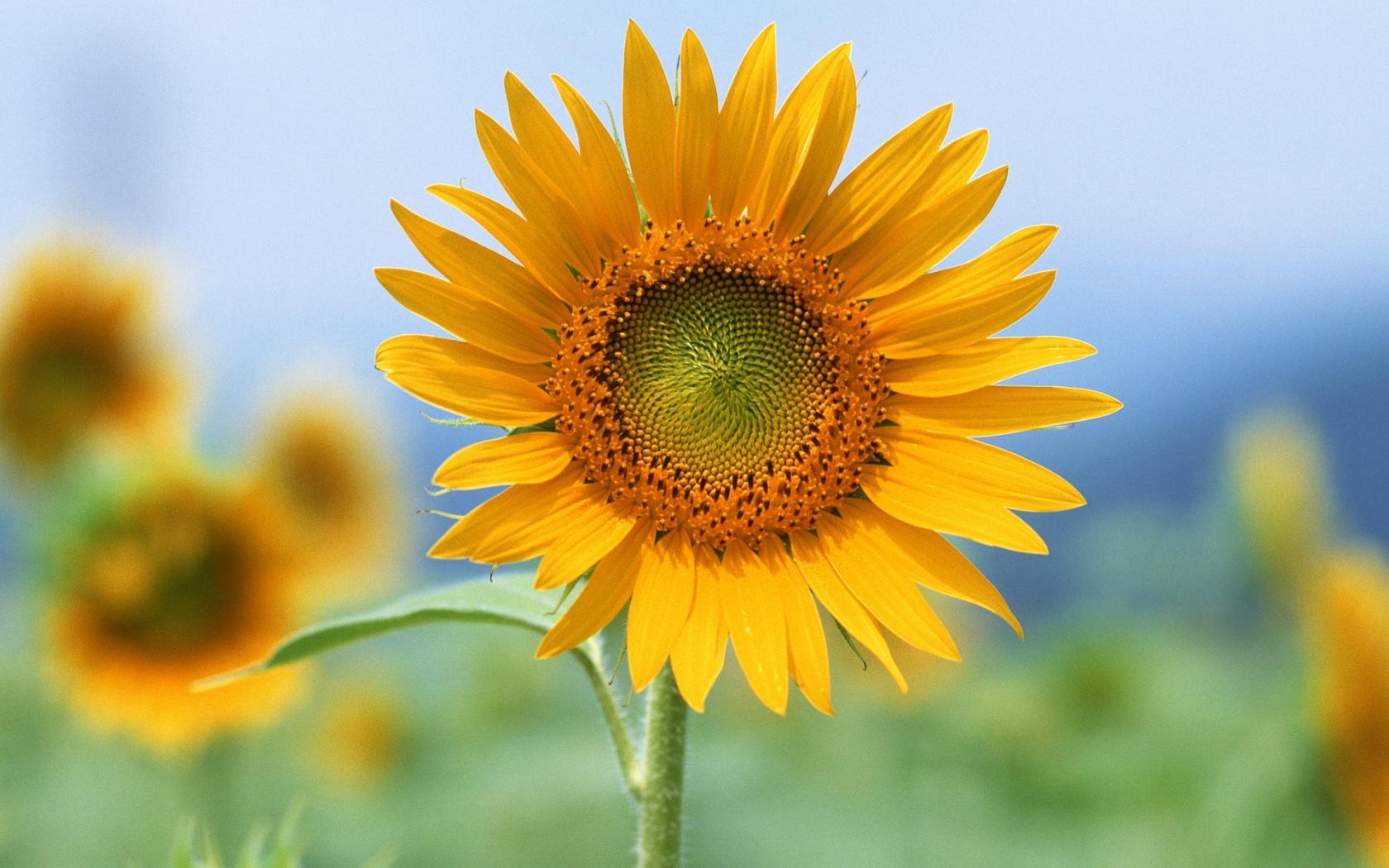 Single Sun Flower Wallpapers HD Wallpapers 1680x1050