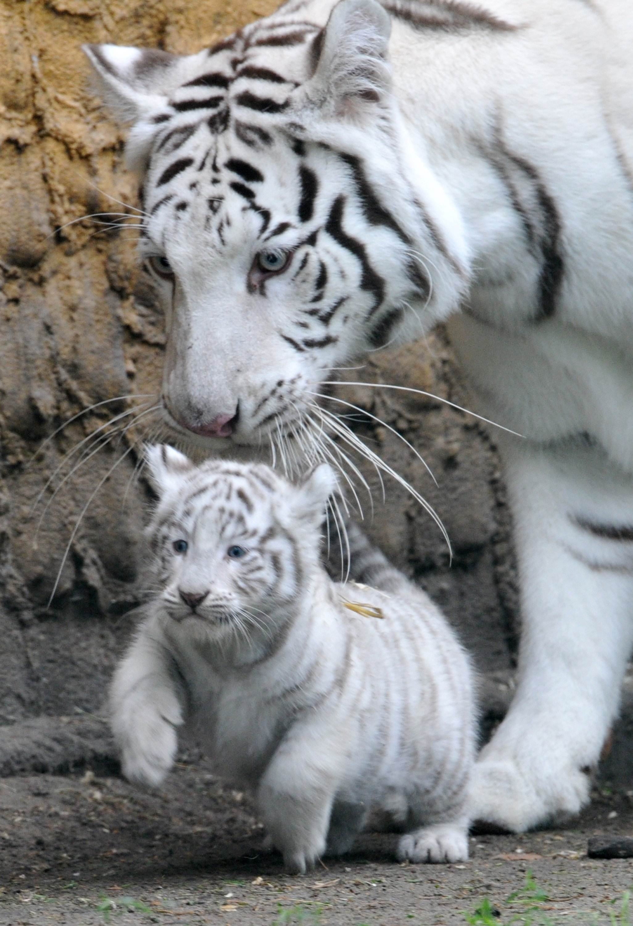 white tigers Cute White Tiger And Cubs Photo Picture HD Wallpaper 2052x3000
