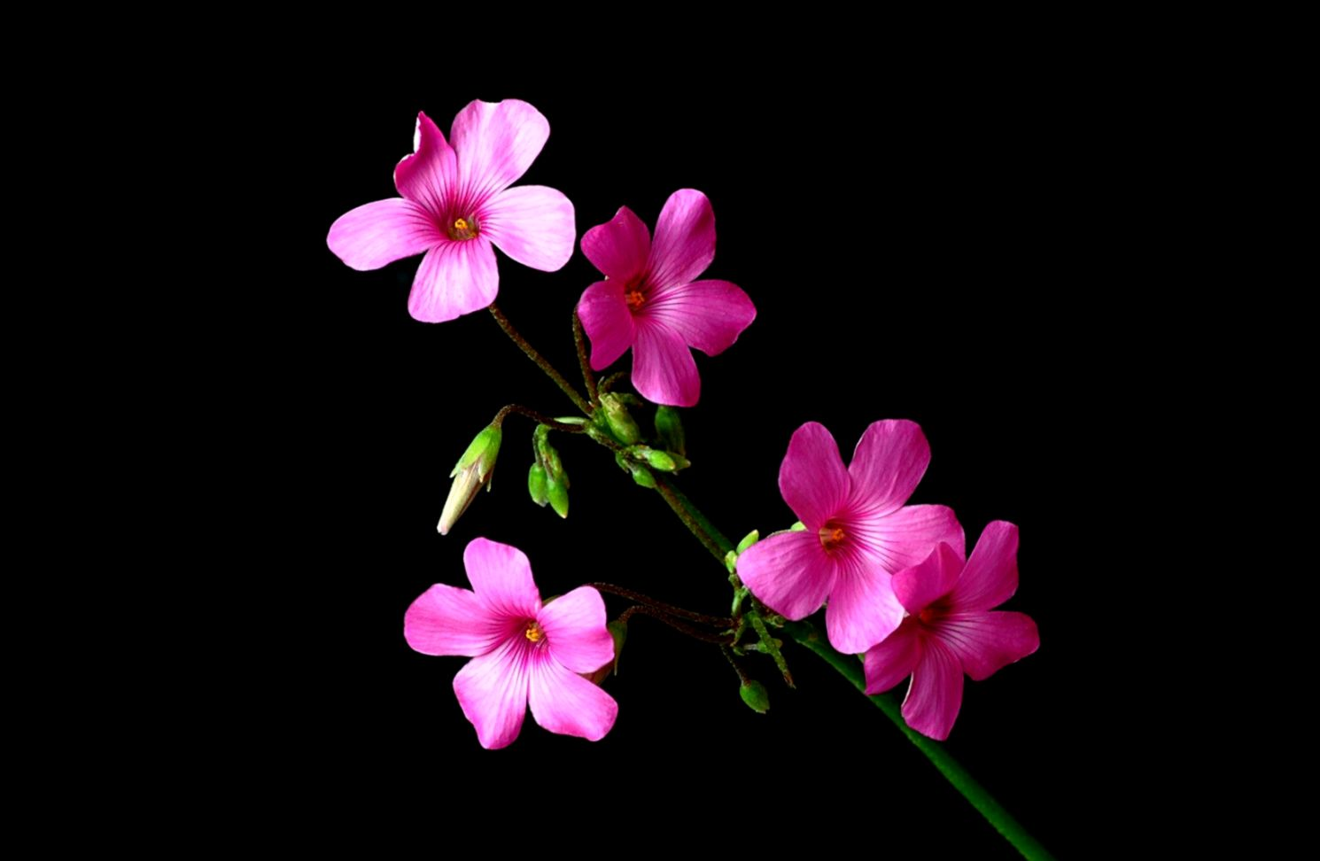 Pink And Black Flower Wallpaper Wallpapers Image 1490x972