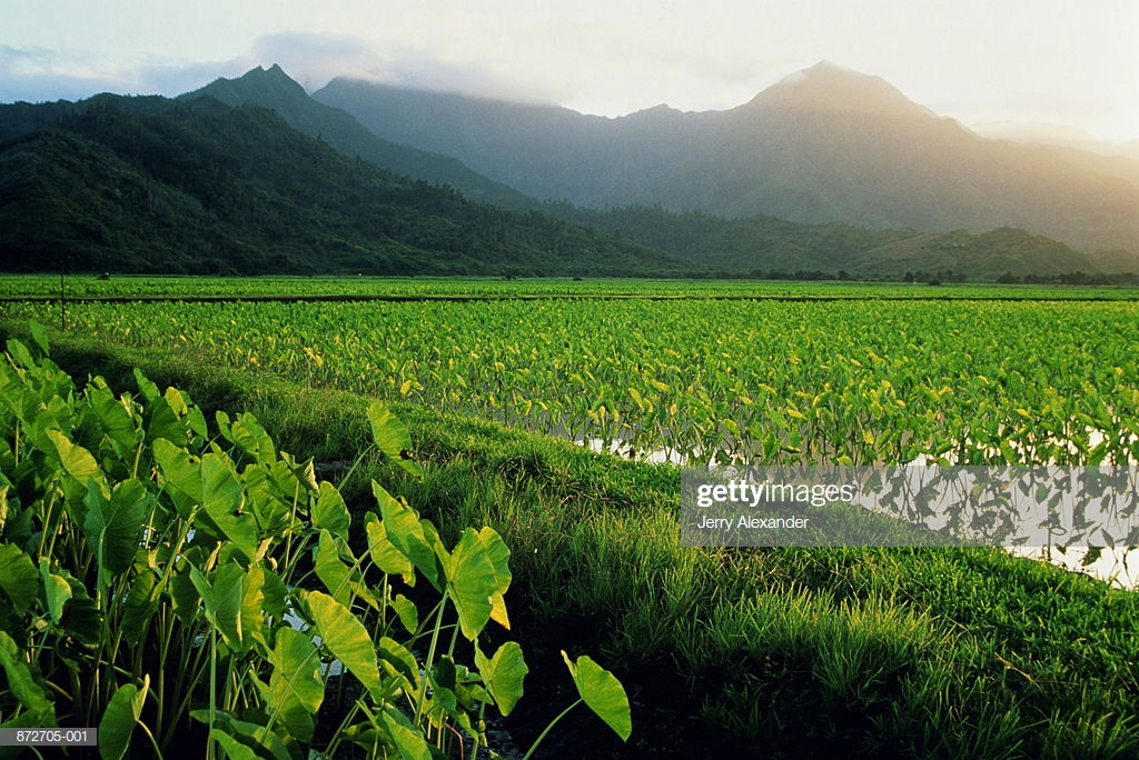 Usa Hawaii Kauai Field Of Taro Mountains In Background Stock Photo 1024x684