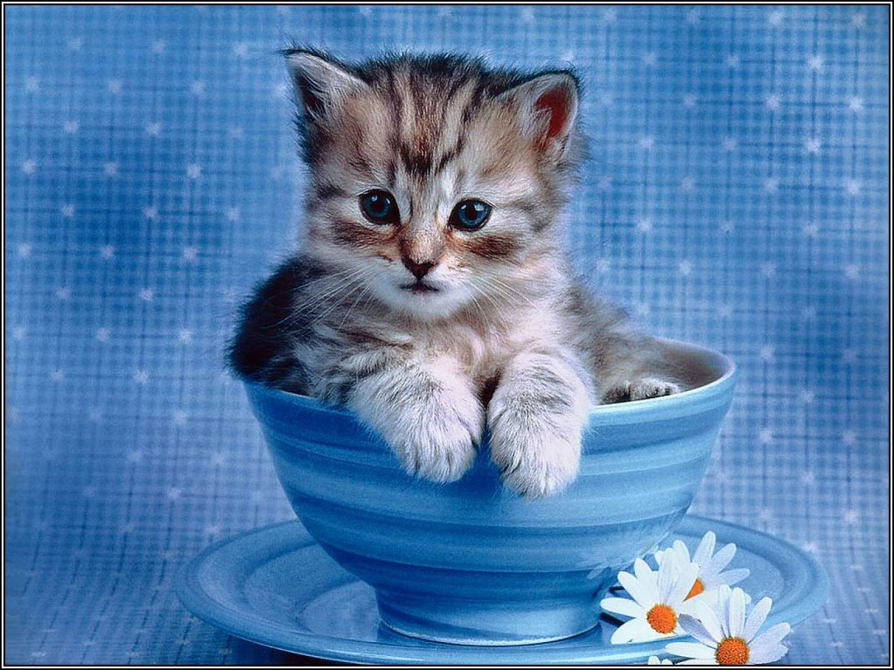 free desktop wallpaper of impossibly cute kitten cats wallpaper 1280x960