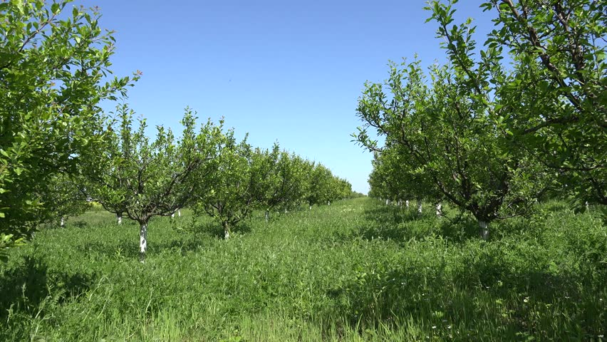 4K Trees Orchard Spring Fruits Flowers Cherry Plum Apple Peach   4K 852x480