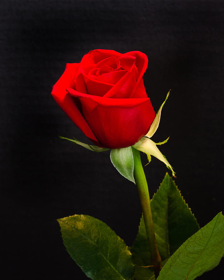 Red rose black background wallpapersafari - Red rose flower hd images ...