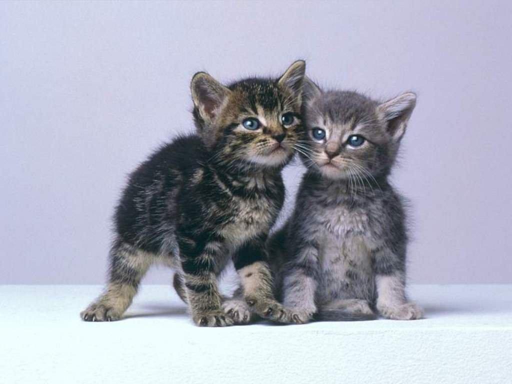 desktop wallpaper Kittens 1024x768