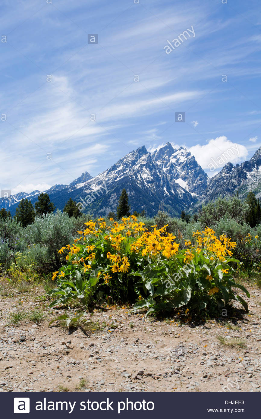 Flowers with the Grand Tetons in the background Stock Photo 866x1390
