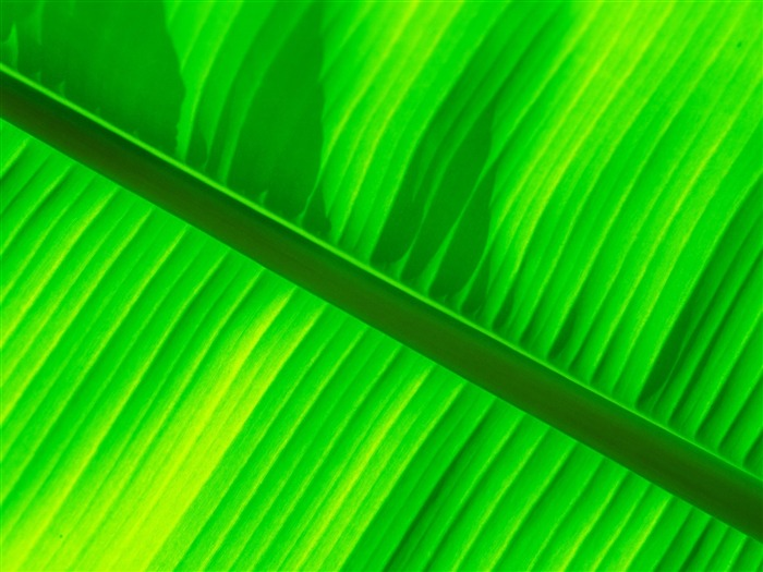 Green banana leaf wallpaper Wallpapers View   10wallpapercom 700x525