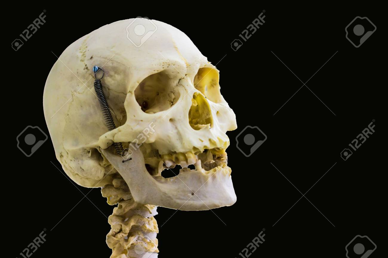 Articulated Human Skull Bone And Cervical Vertebrae For Head 1300x866