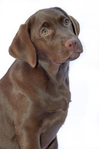 Chocolate Labrador Puppy On White Background Stock Photo Getty 338x507