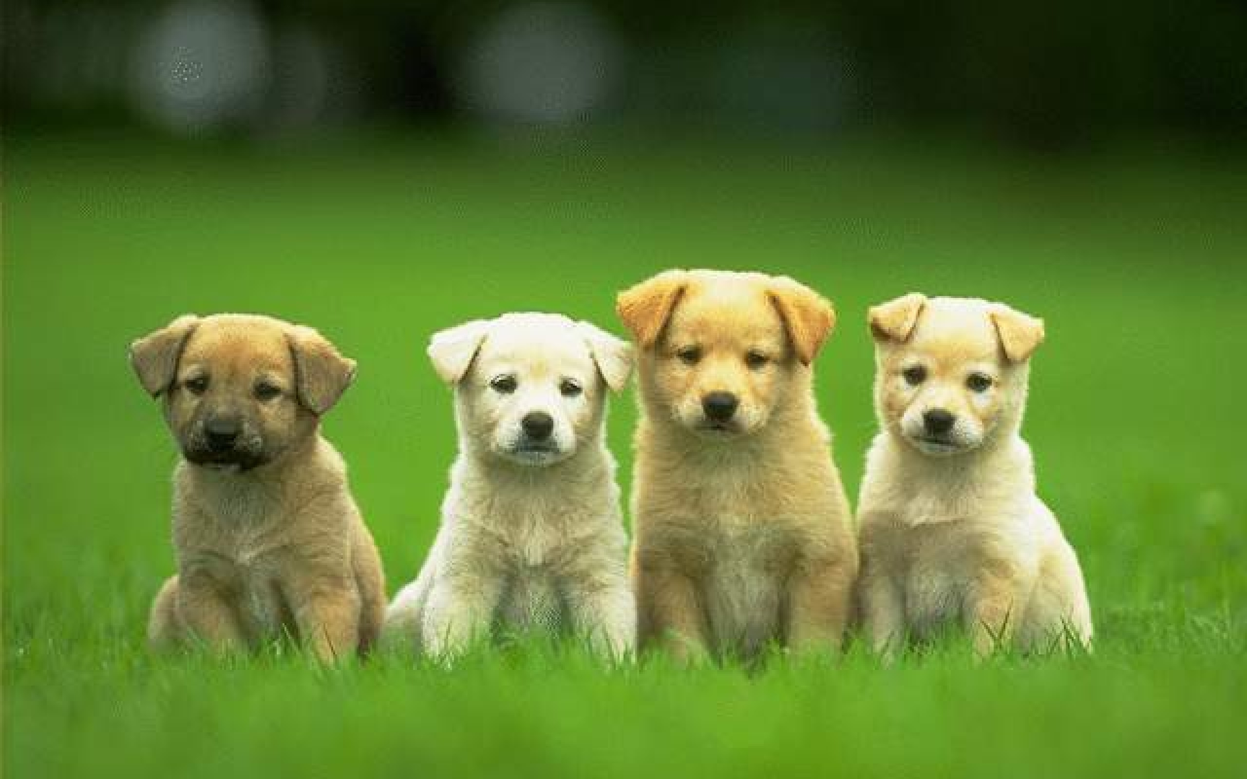 Free Download Four Cute Puppy Dog Wallpaper Hd Wallpaper Backgrounds