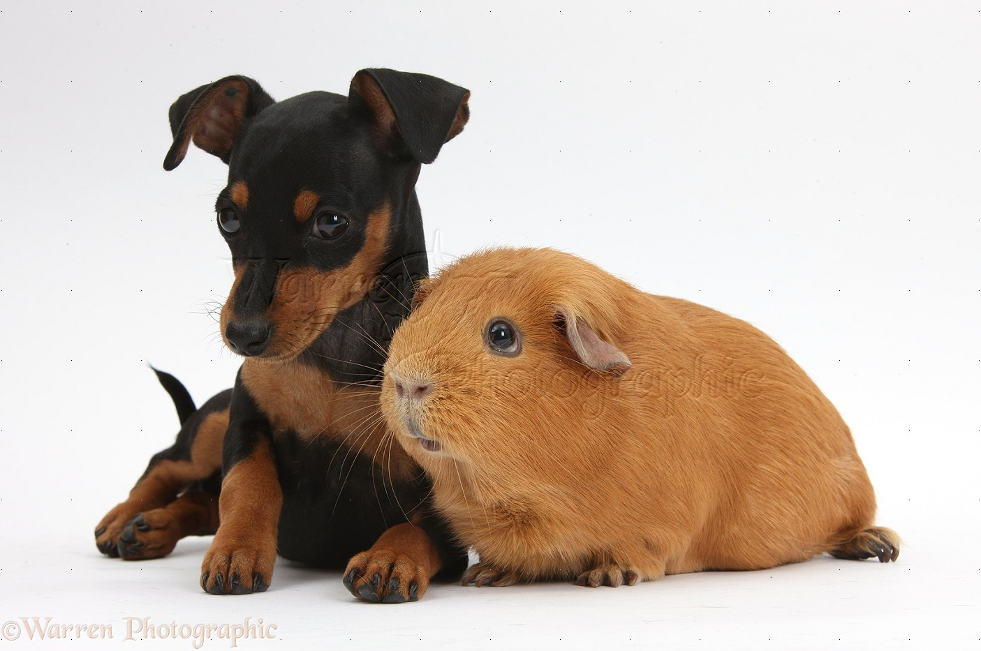 Miniature Pinscher Puppies HD Walls Find Wallpapers 1405x933