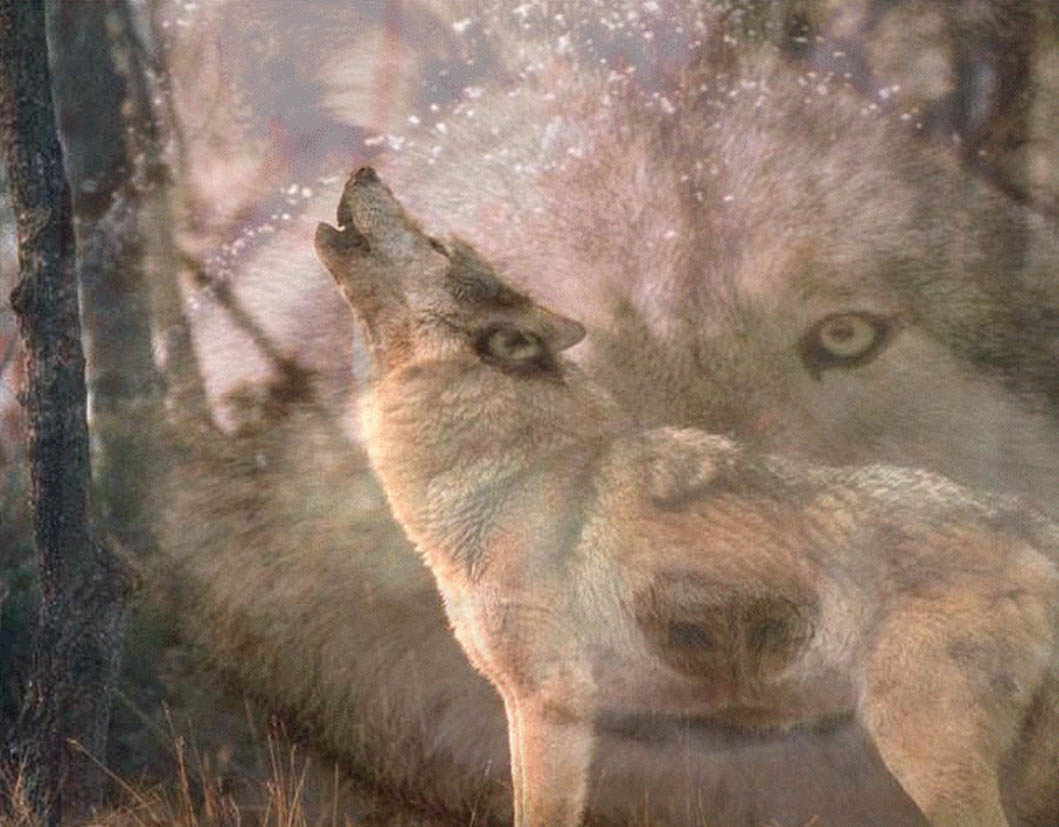 Howling Wolf Wallpaper 10685 Hd Wallpapers in Animals   Imagesci 1059x827