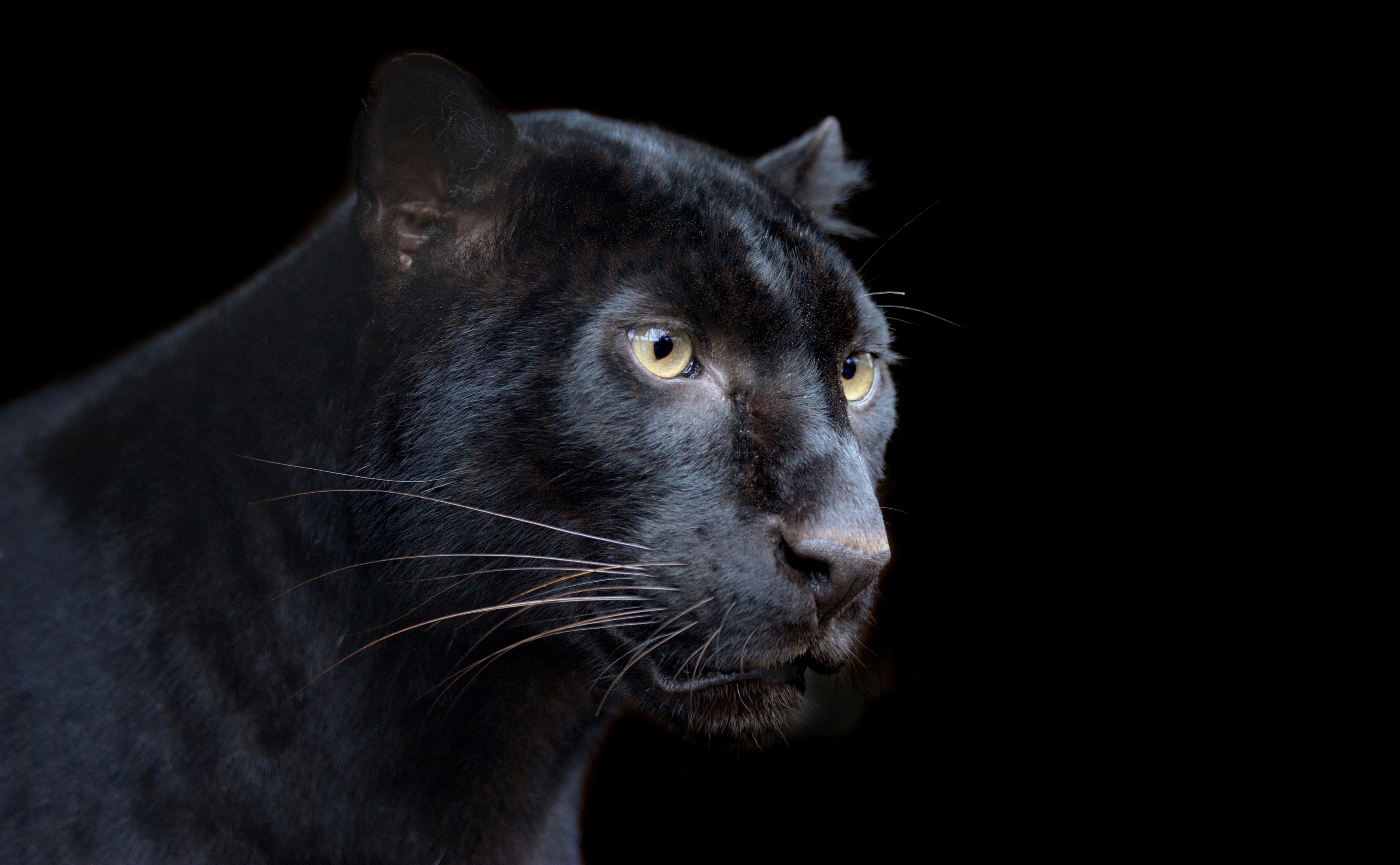 Panther leopard wolf black background wallpaper   ForWallpapercom 6470x4000