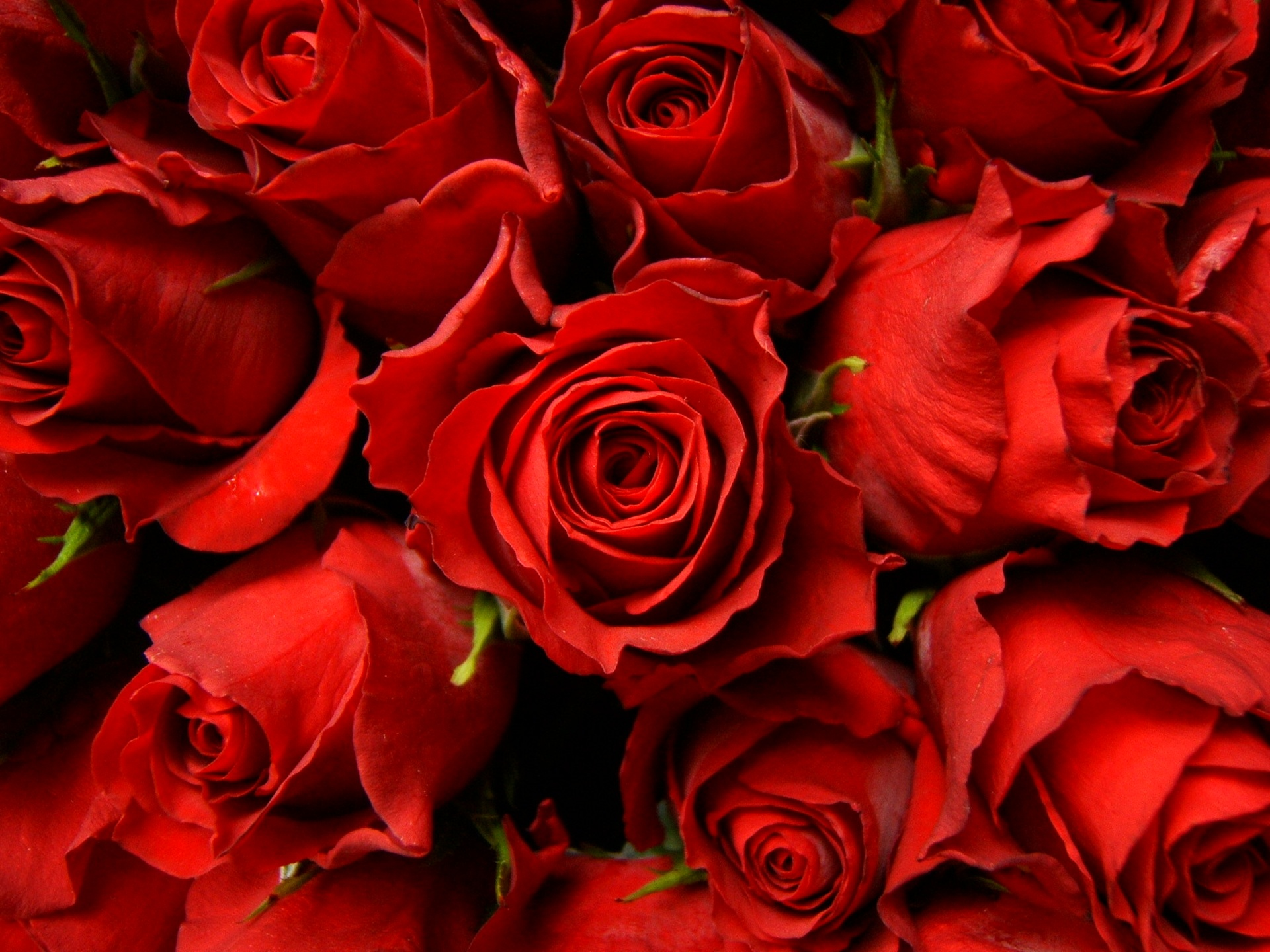 Red roses wallpaper Wallpaper Wide HD 1920x1440
