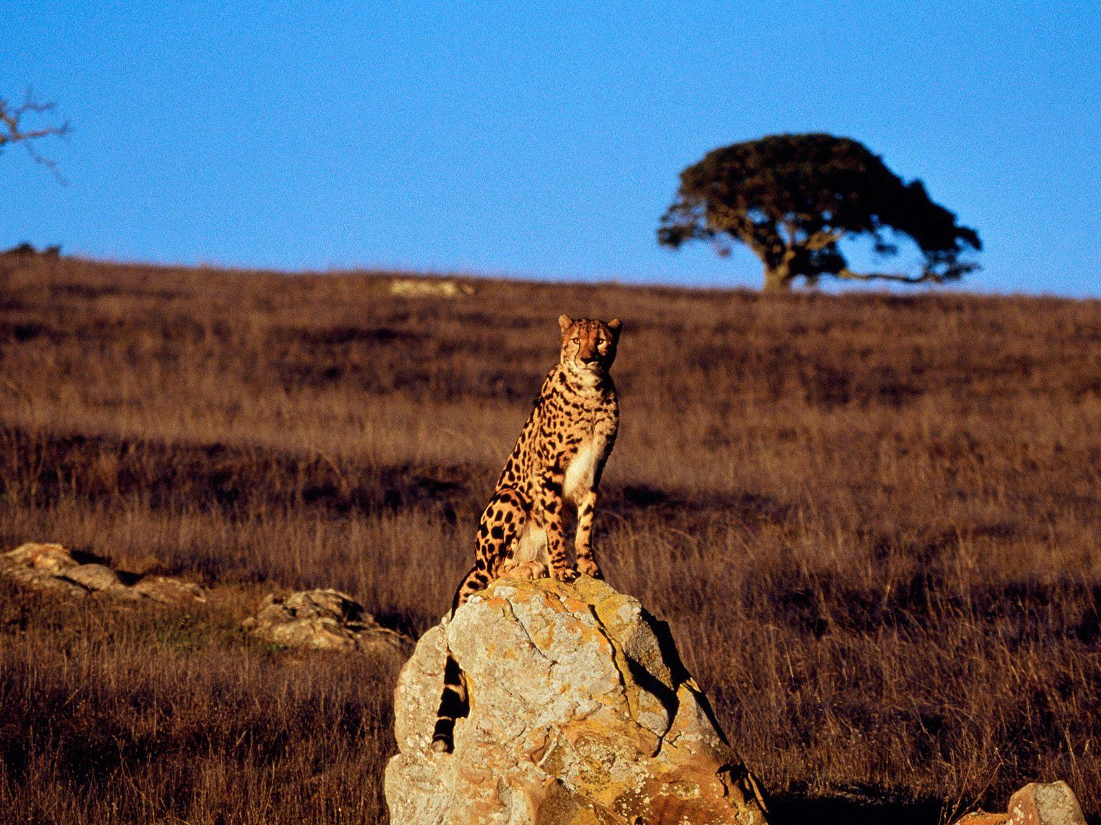 природа животные Гепарды камни трава дерево горизонт  № 276756  скачать