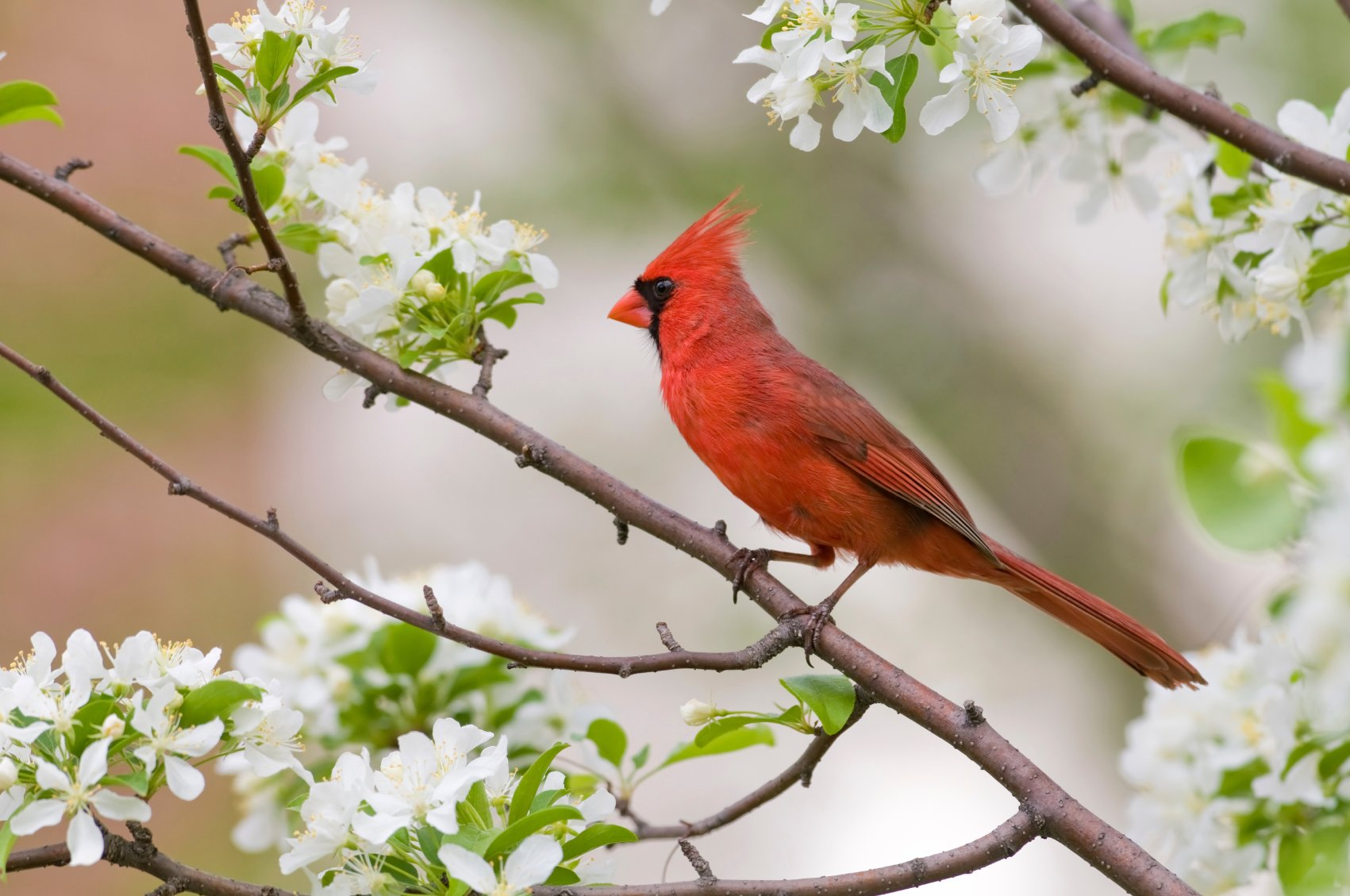 cardinal in crabapple istock1 Cardinal Birds Wallpaper Download 1701x1129