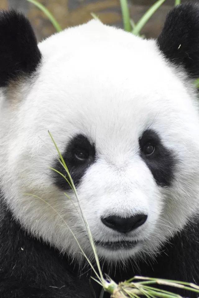 Cute panda iPhone 4s Wallpaper Download iPhone Wallpapers iPad 640x960