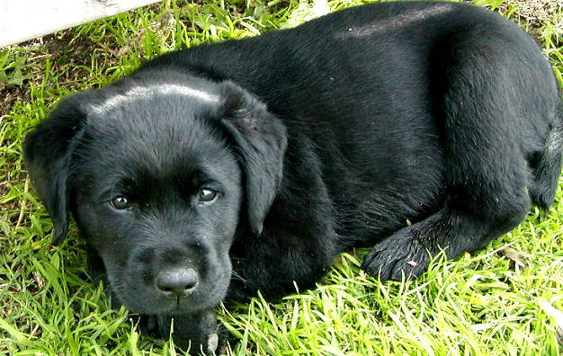 Wallpapers black lab dogs wallpapers 626x396