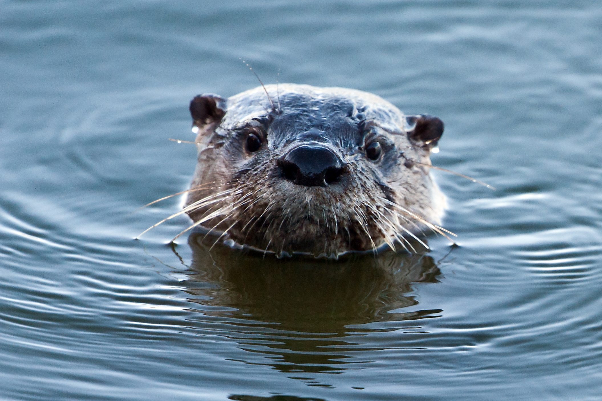 North American River Otter Stephen L Tabone Nature Photography 2111x1405