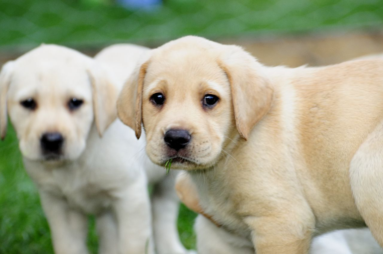 years ago For Sale Dogs Labrador Retriever Birmingham 1280x850