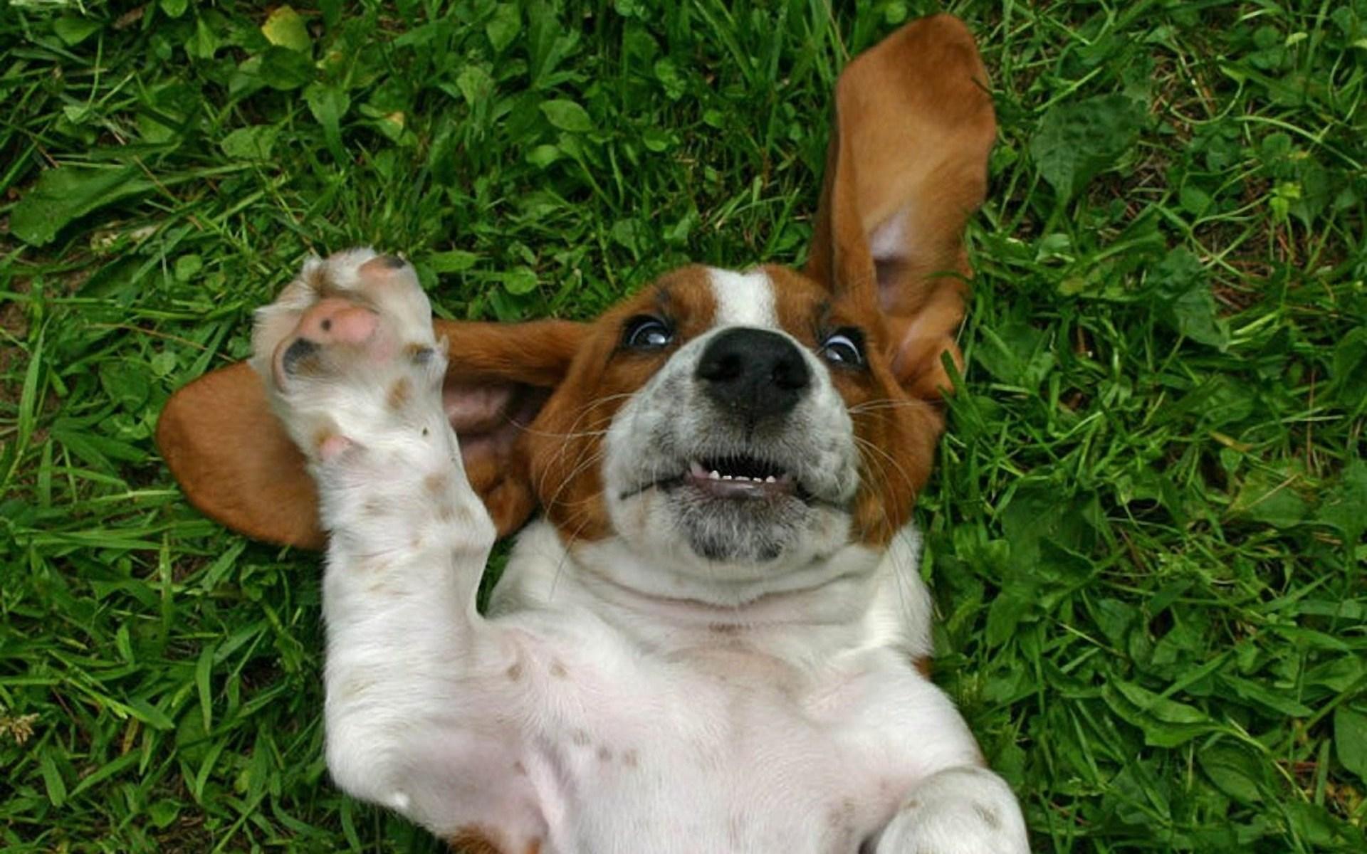Beagle Wallpaper Screensavers - WallpaperSafari