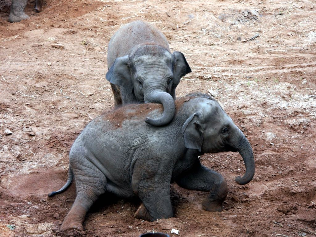baby elephants high quality wallpapers baby elephant playing on the 1024x768