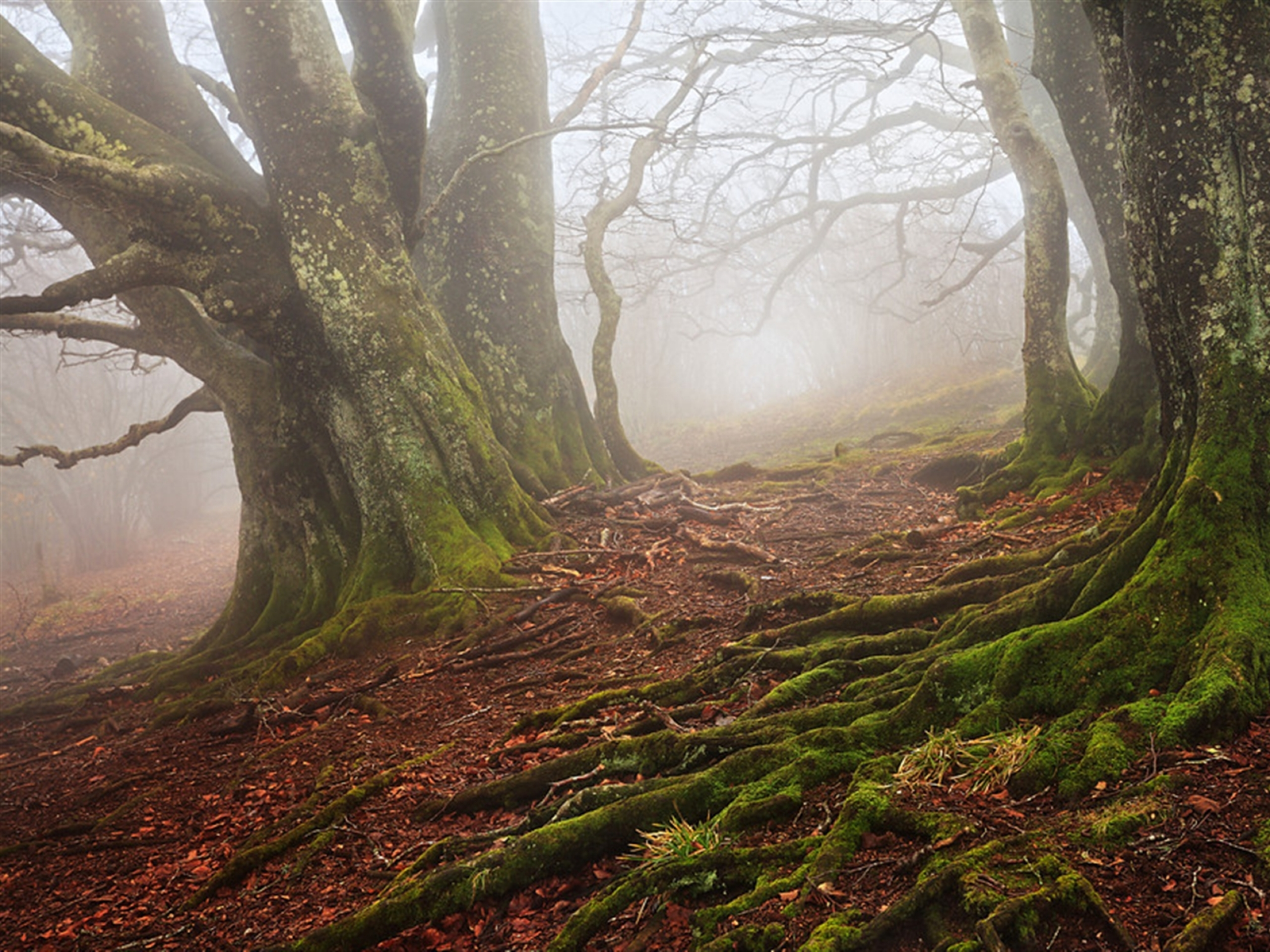 Old Beech Forest Foggy wallpapers Old Beech Forest Foggy stock 2560x1920