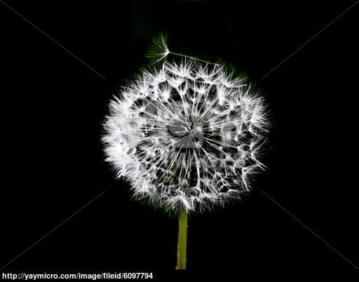 Dandelion Black And White Wallpaper Dandelion black white 512x402