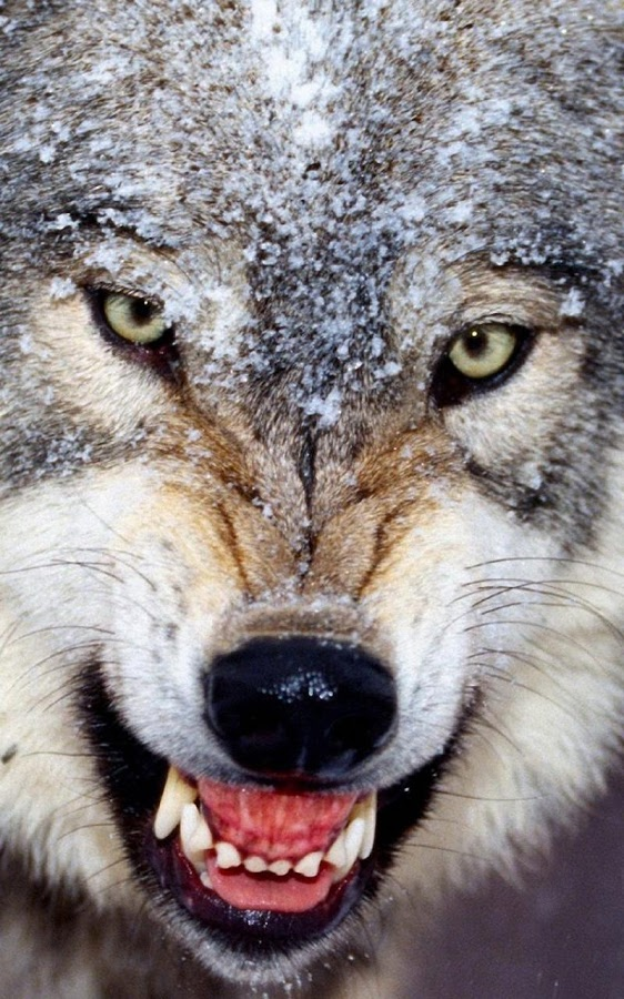 Wolf Live Wallpaper   Android Apps on Google Play 562x900