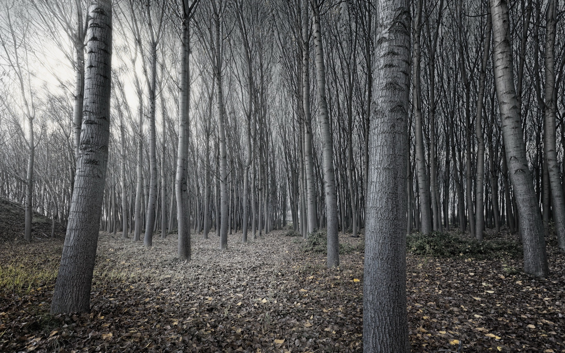 Black And White Tree Forest Wallpapers   1920x1200   1419456 1920x1200