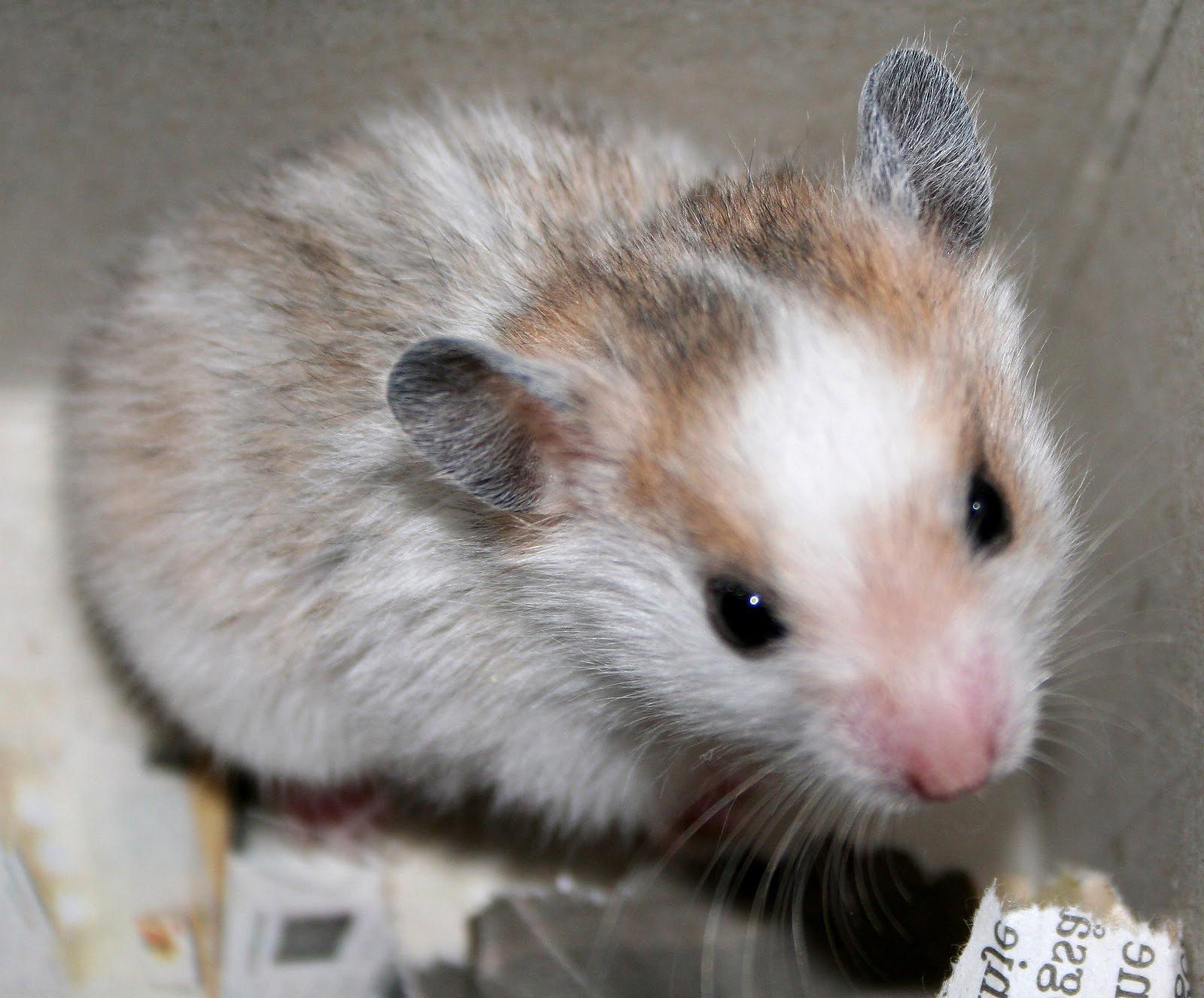 Hamsters achtergronden dieren hd hamster wallpapers foto 22jpg 1600x1327
