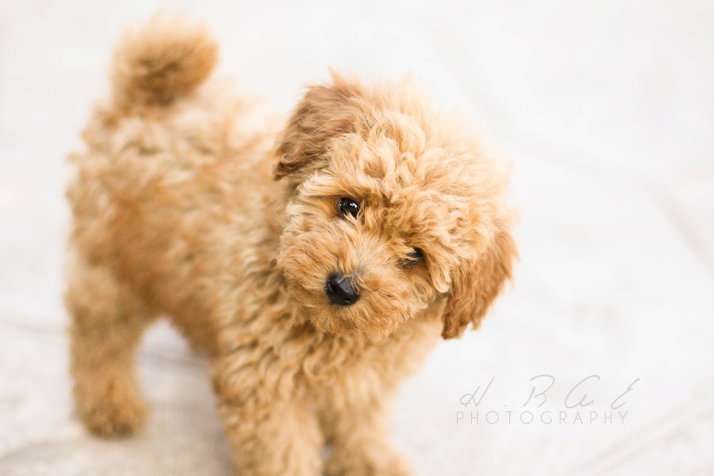 Free download Cute Toy Poodle Puppies Pictures Wallpaper Download Dogs Toy  Poodles [1000x667] for your Desktop, Mobile & Tablet | Explore 49+ Standard  Poodle Wallpapers | Toy Poodle Wallpaper, Pink Poodle Wallpaper,