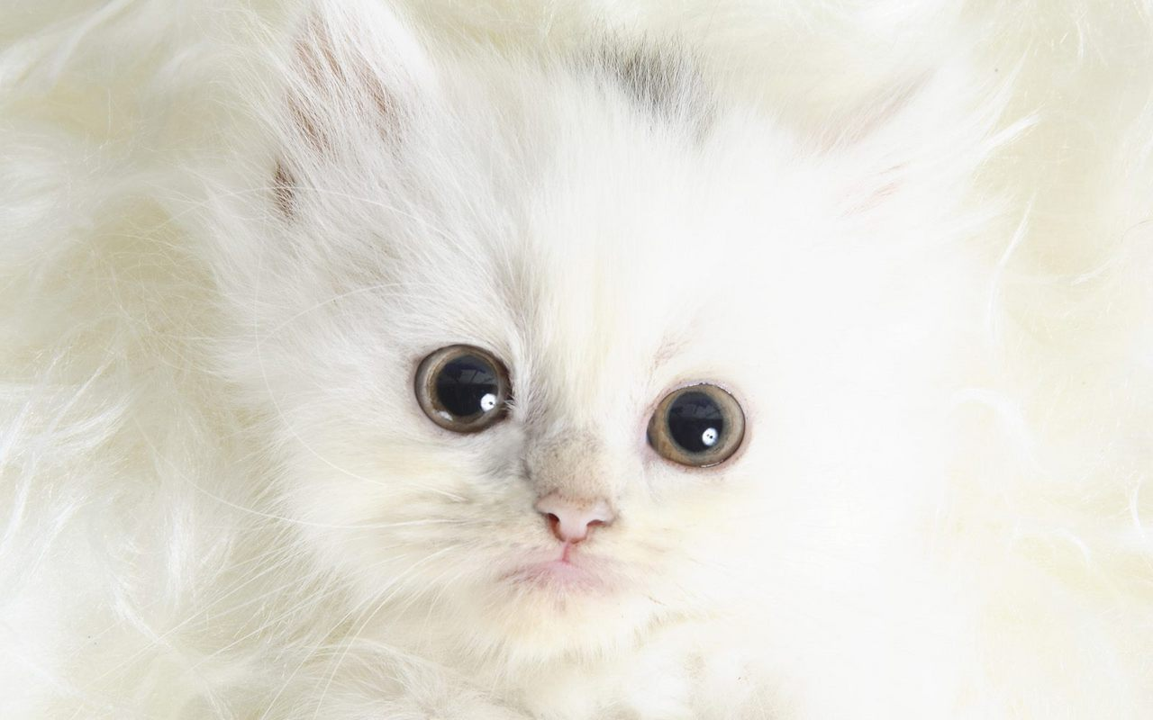 Kittens images Cute Kitten Wallpaper wallpaper photos 16094697 1280x800
