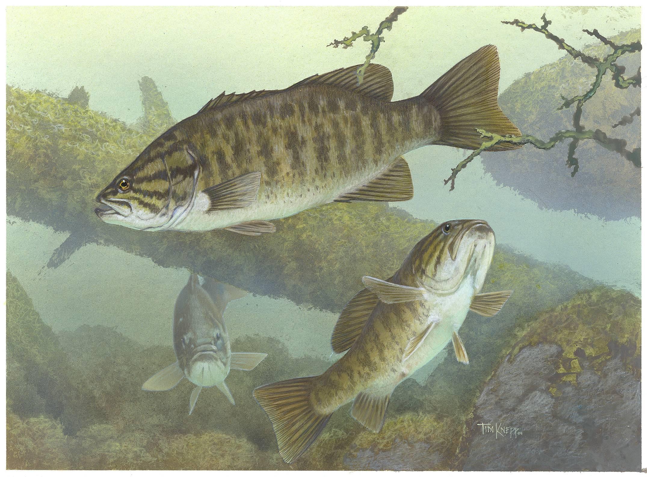 Bass Fishing Wallpaper Backgrounds 2151x1584