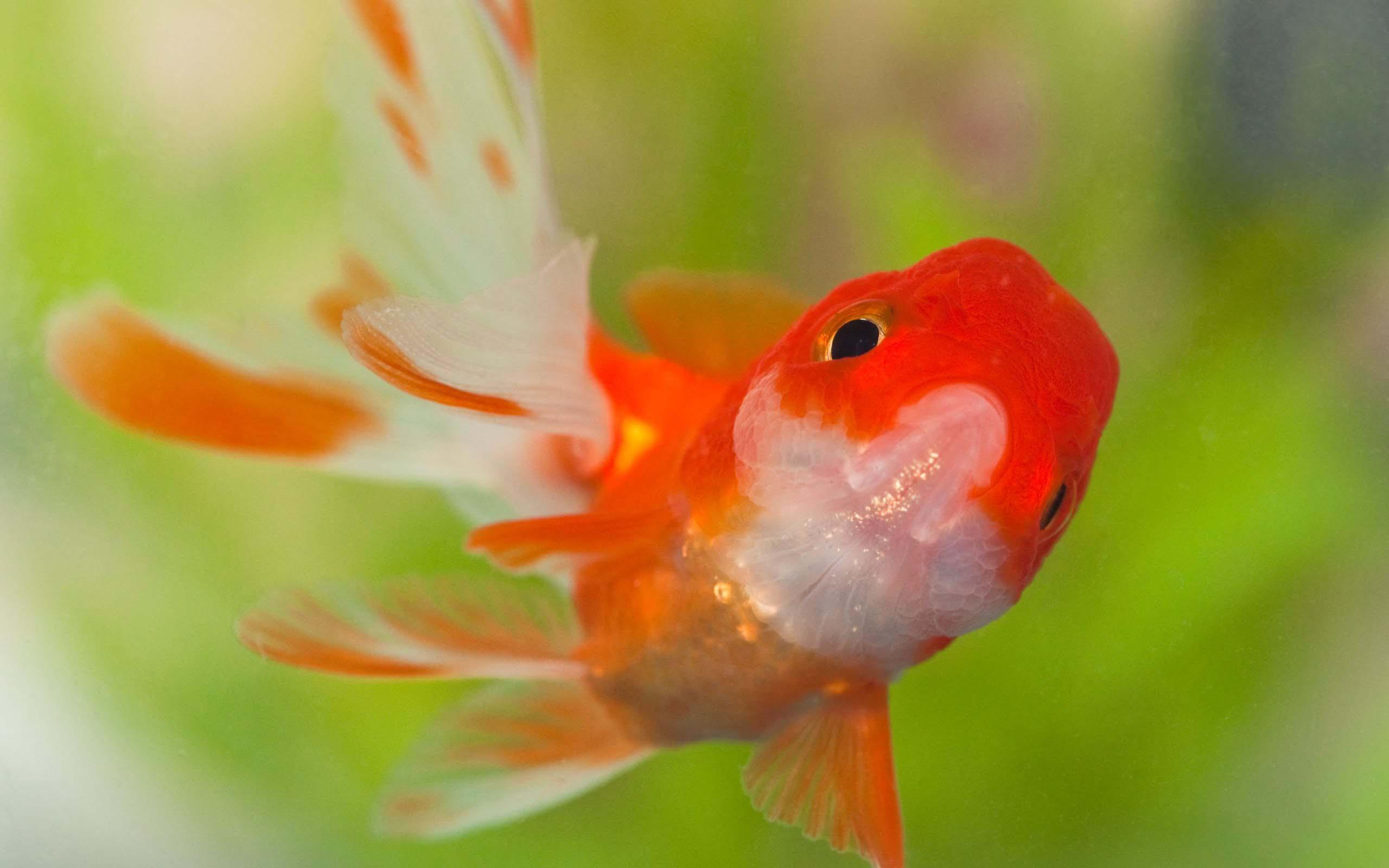 Goldfish HD Wallpapers 183 4K 2560x1600